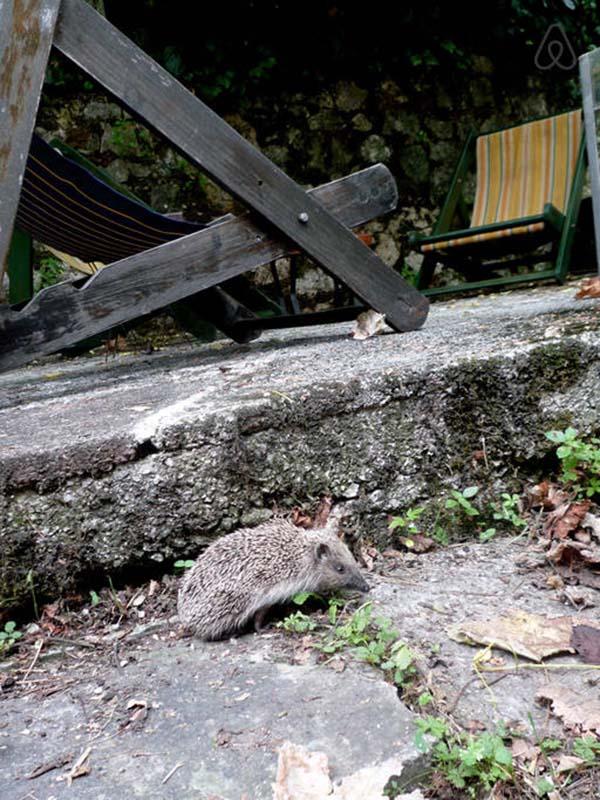 house-in-budva--animals--hedgehog