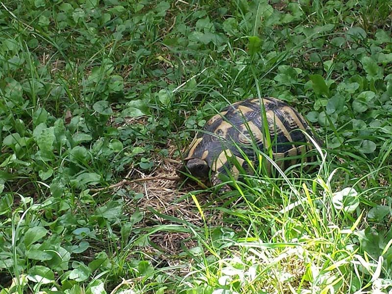 house-in-budva--animals--turtle
